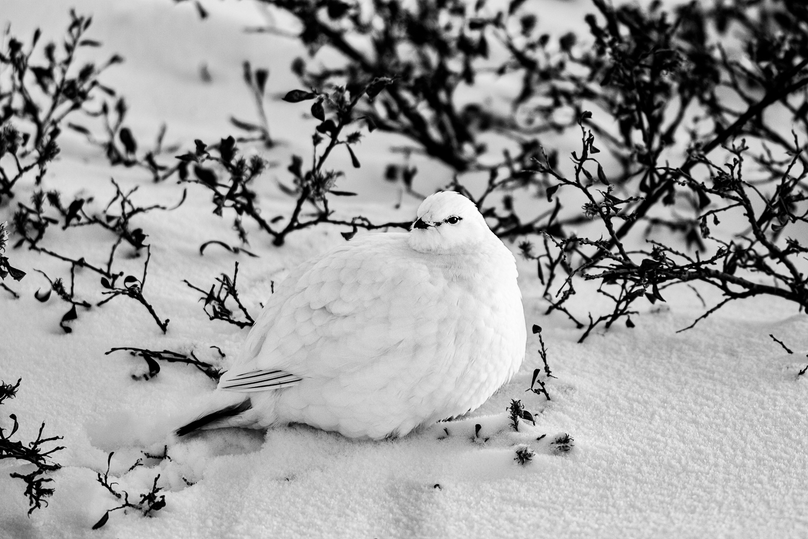 In its winter white plumage this willow ptarmigan stands a fighting chance of surviving the hunt from the foxes, polar bears...