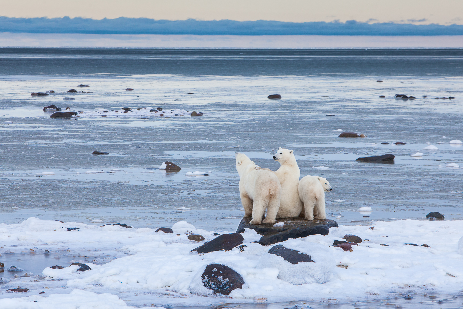 Waiting for the Hunt,Polar bear,Wildlife,Winter,Manitoba, Canada,Ocean,Air, photo