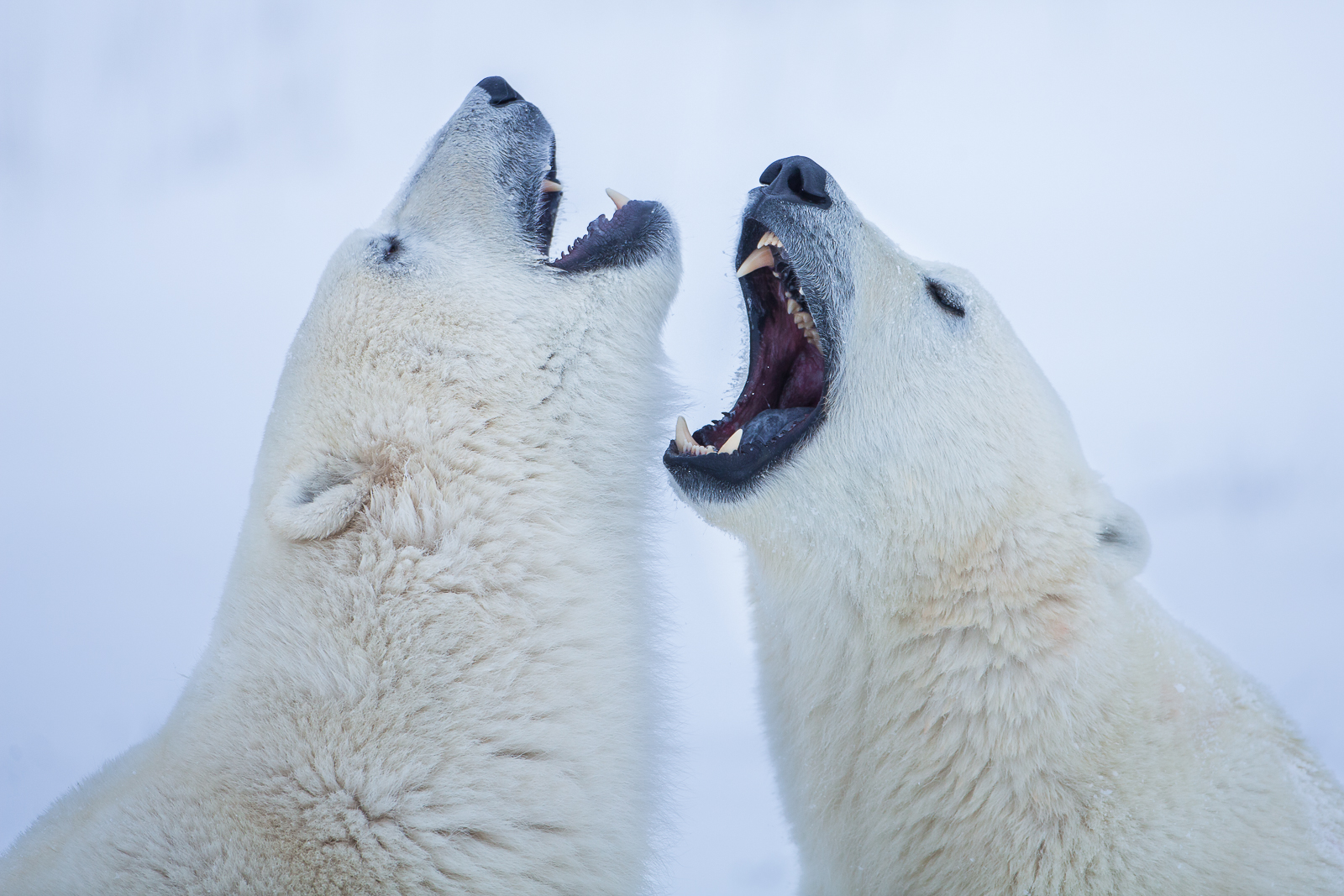 Polar Singsong,Fighting,Polar bear,Sparring,Wildlife,Winter,Manitoba, Canada,Ice, photo