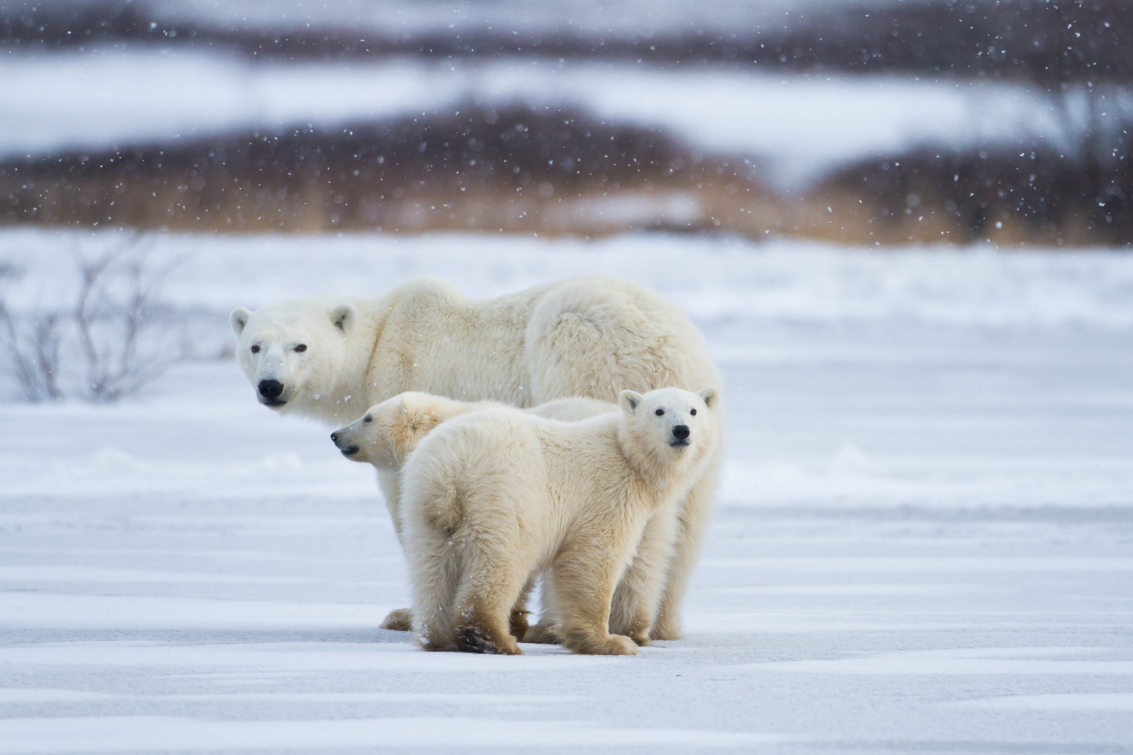 Polar Twins,Canada,Horizontal,Ursus maritimus,cub,polar bear,wildlife,winter,young, photo