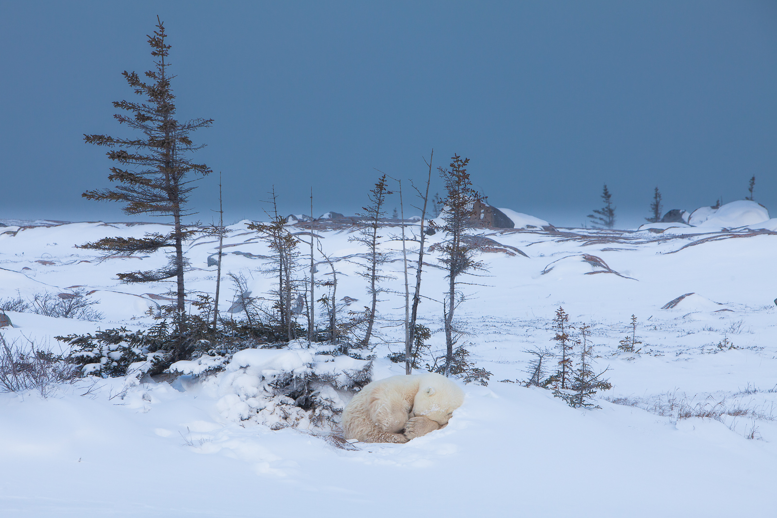 Artic Snooze,Manitoba, Canada,polar bear,wildlife,Wind, photo
