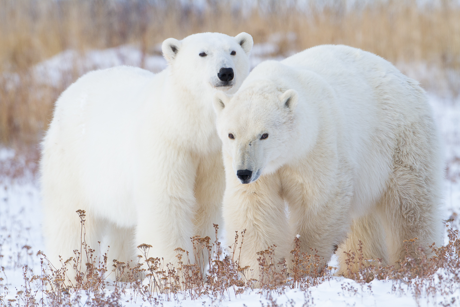 Fast Friends,Manitoba, Canada,polar bear,wildlife, photo