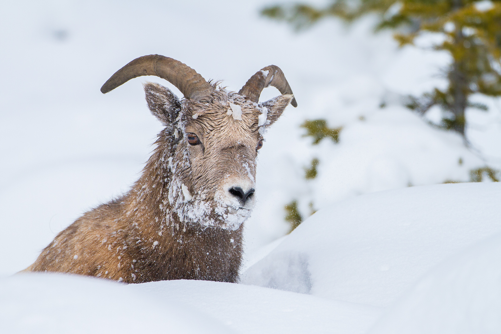 Snowface,Canada,Horizontal,Ovis canadensis,bighorn sheep,wildlife,winter, photo