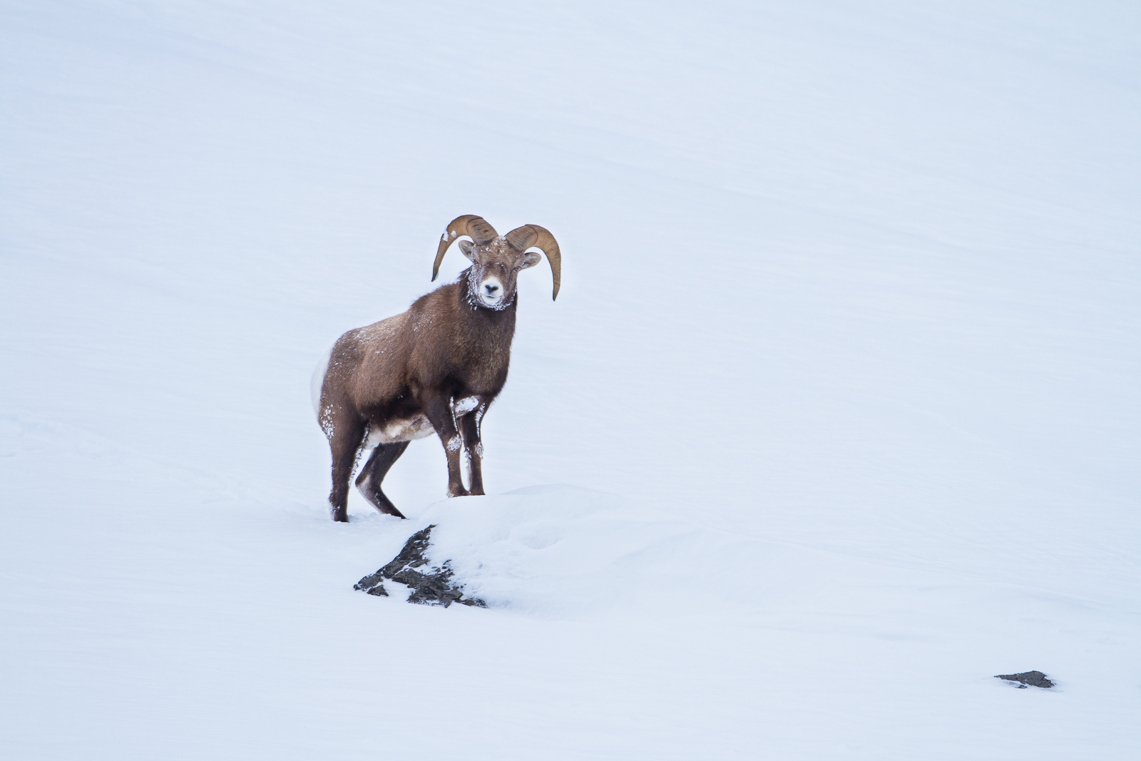 Looking at You,Icefields Parkway, Canada,Sheep,Climb,Snow,Winter, photo