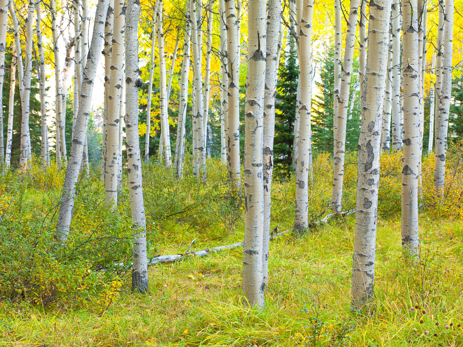 Pining Alone,Autumn,Jasper NP,aspens,folliage,forest,yellow, photo