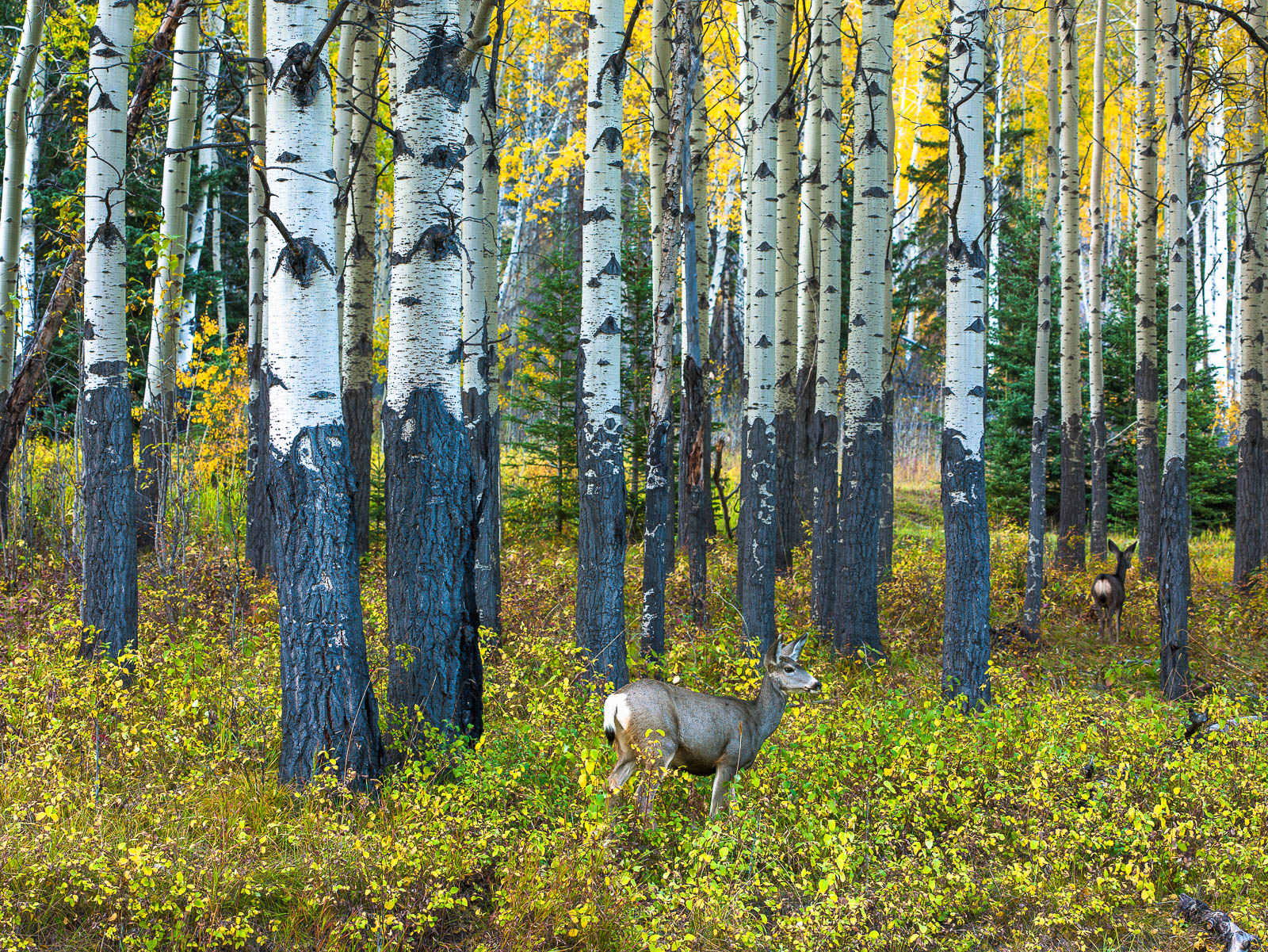 Free Spirits,Autumn,bitch trees,deer,forest,wildlife,yellow, photo