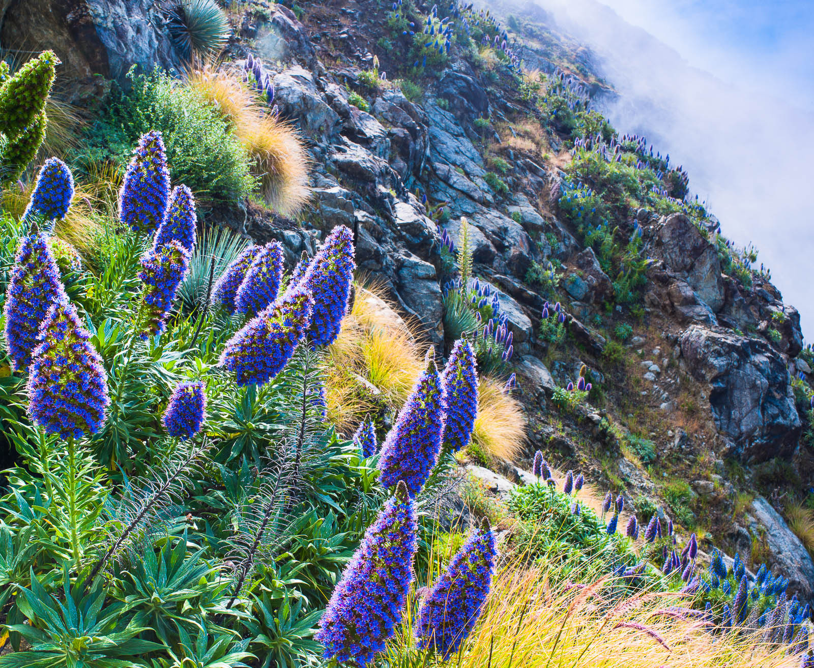 Purple Plumes,California,Horizontal,Pacific,flower,landscape,purple, photo