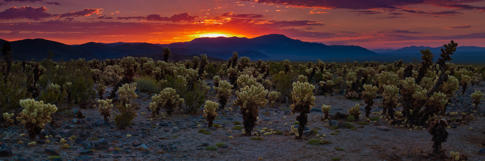 Cholla Cacti Field,California,Desert,Joshua Tree National Park,Panoramic,Sunrise,horizontal,desert,cactus greet, photo