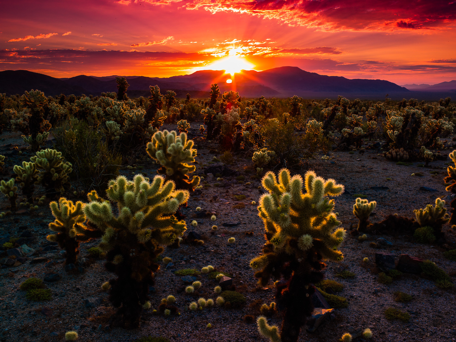 Joshua Tree Needling the Sun,California,Desert,Joshua Tree National Park,Sunrise,horizontal, photo