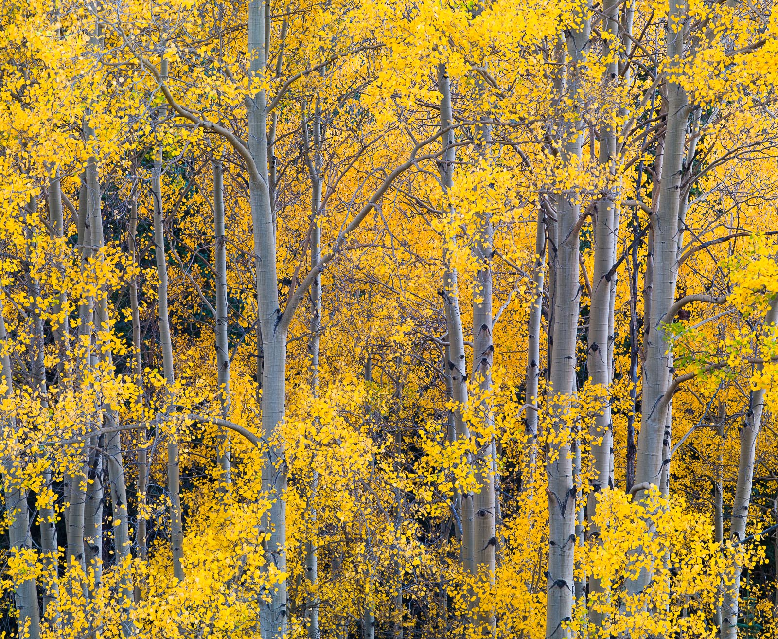 Gold on Silver,Aspen,Autumn,Colorado,Yellow,horizontal, photo