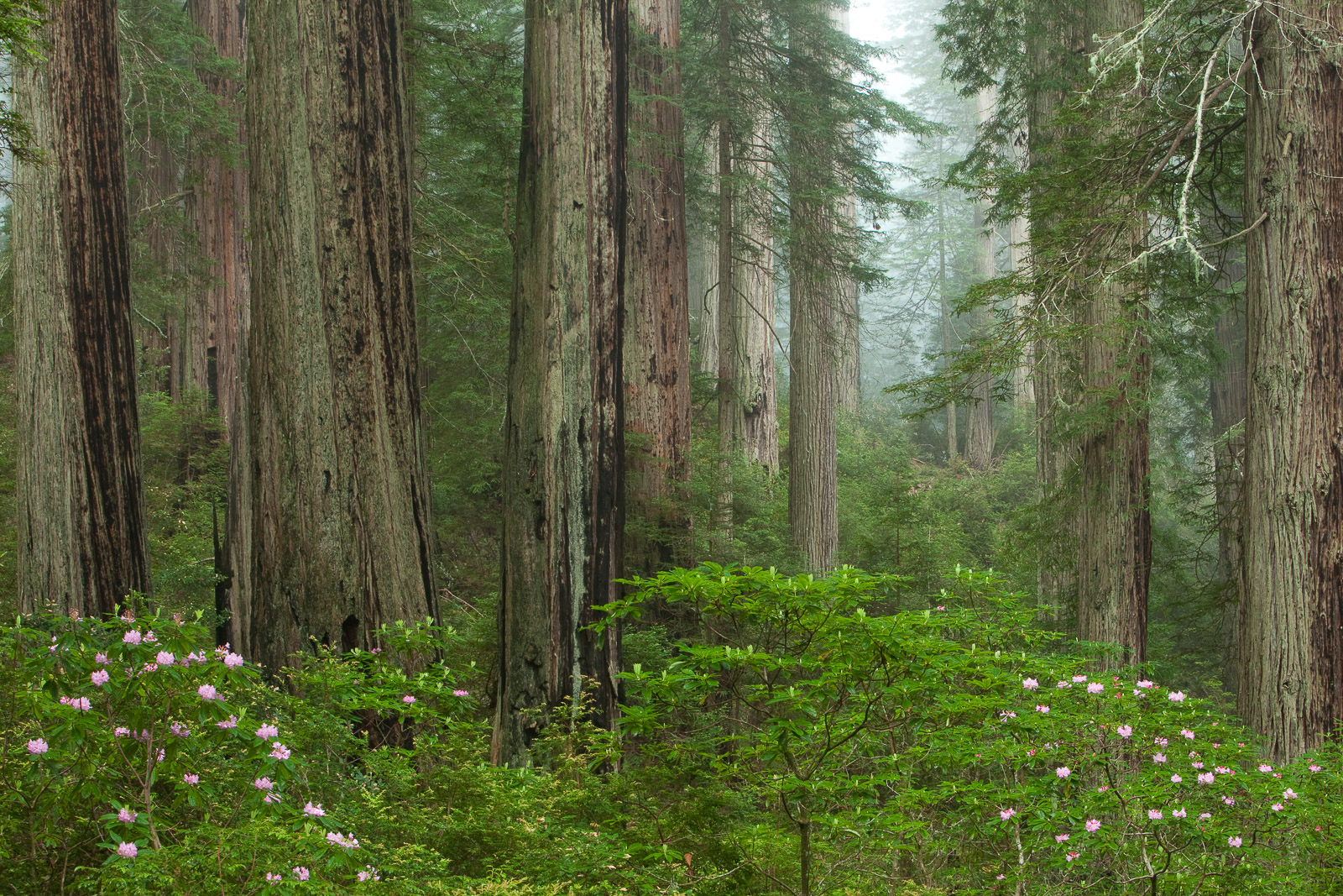 The Forest,Del Norte Coast Redwoods State Park, California,Forest,Trails,Redwood,Blossoms,Green, photo