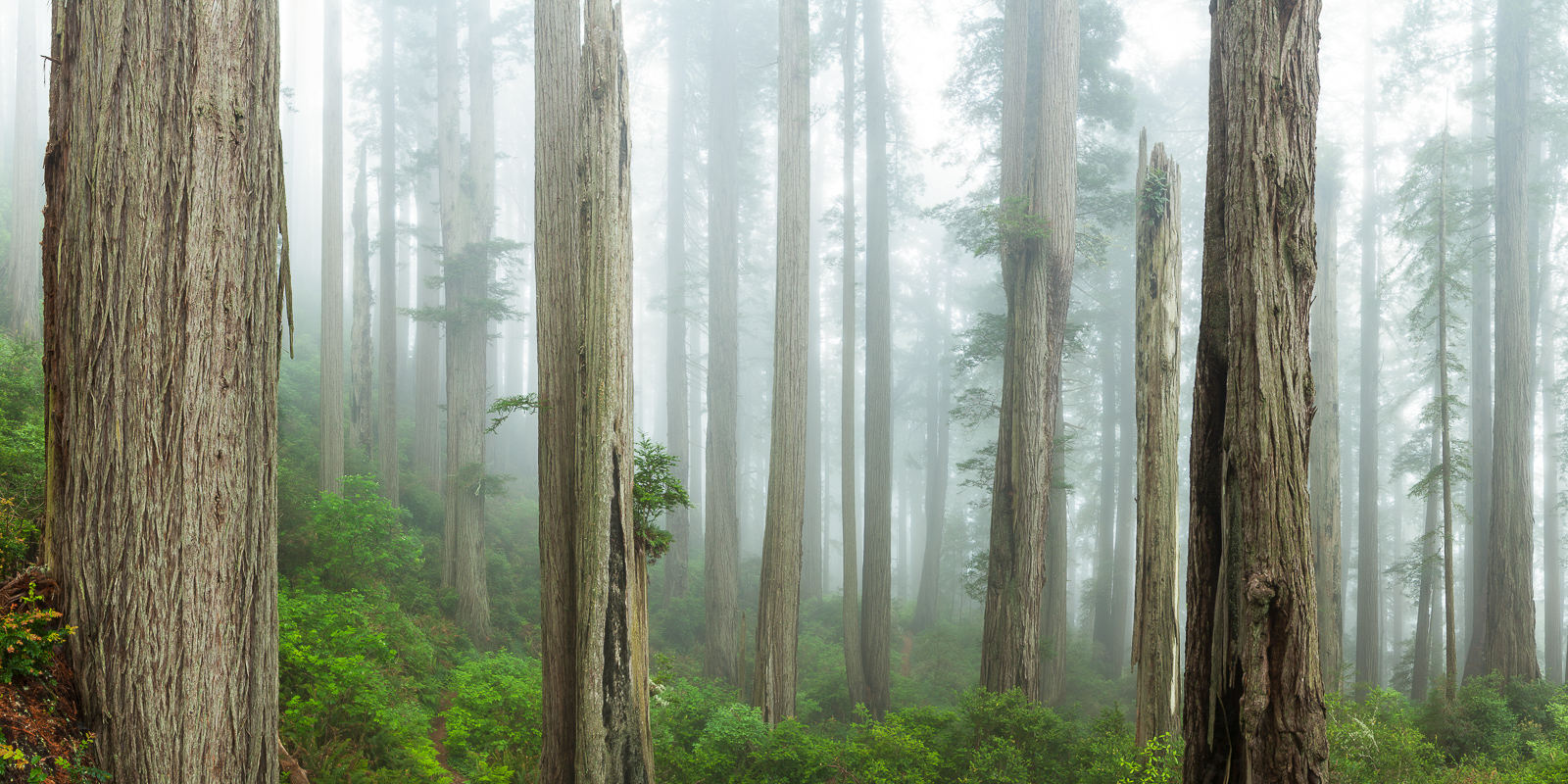 Among Redwoods,Redwoods, Trees, Del Norte Coast Redwoods State Park,Ocean,Trees, photo
