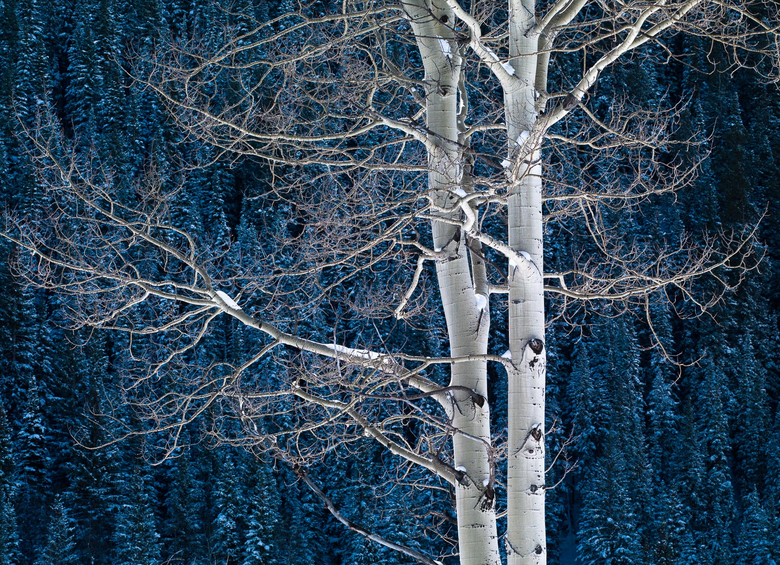 Embraced,Aspen,Blue,Colorado,Winter,horizontal, photo