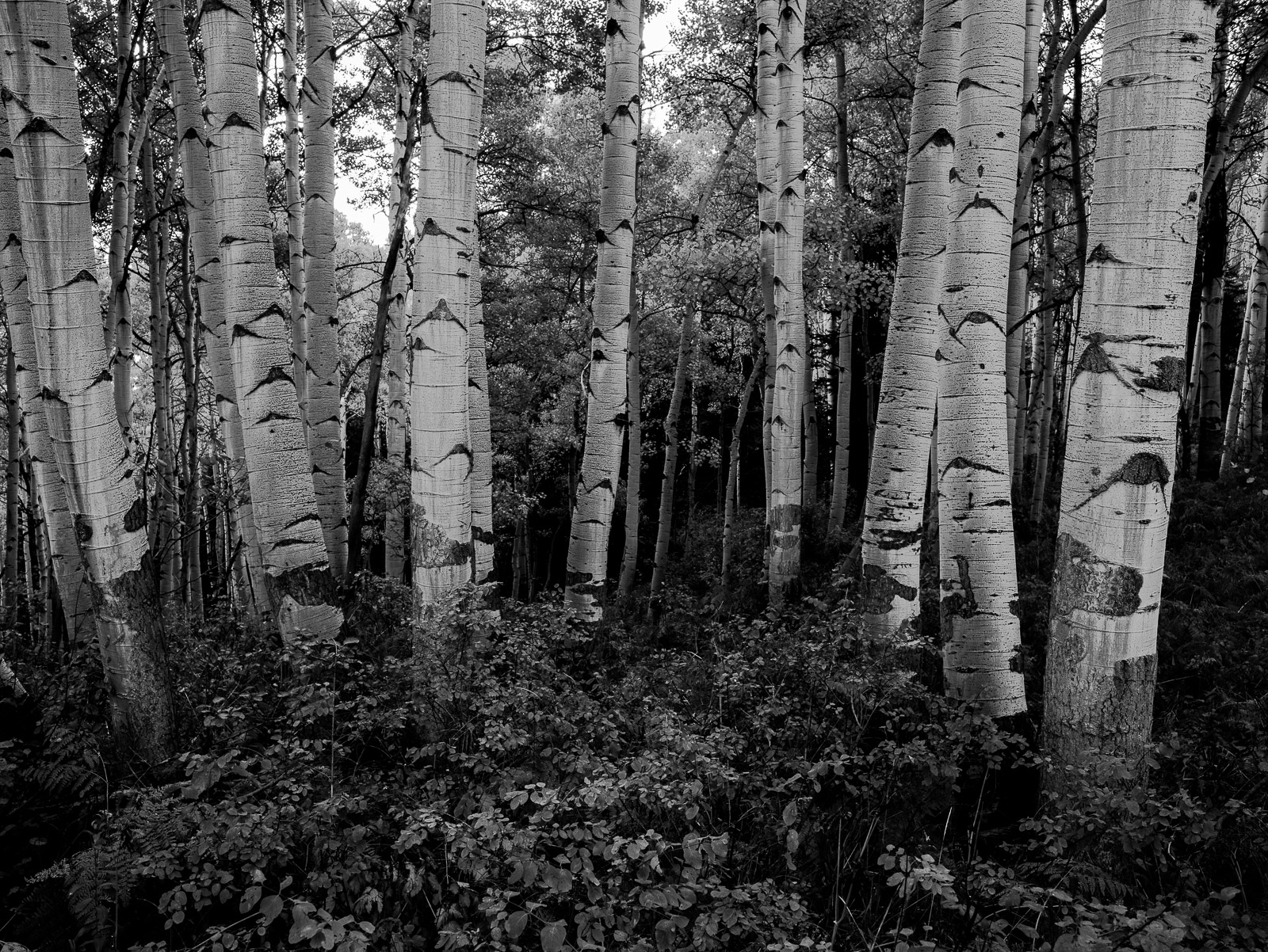 The Gathering, Kebler Pass, Colorado, black, trees, BW, B&W, White, photo