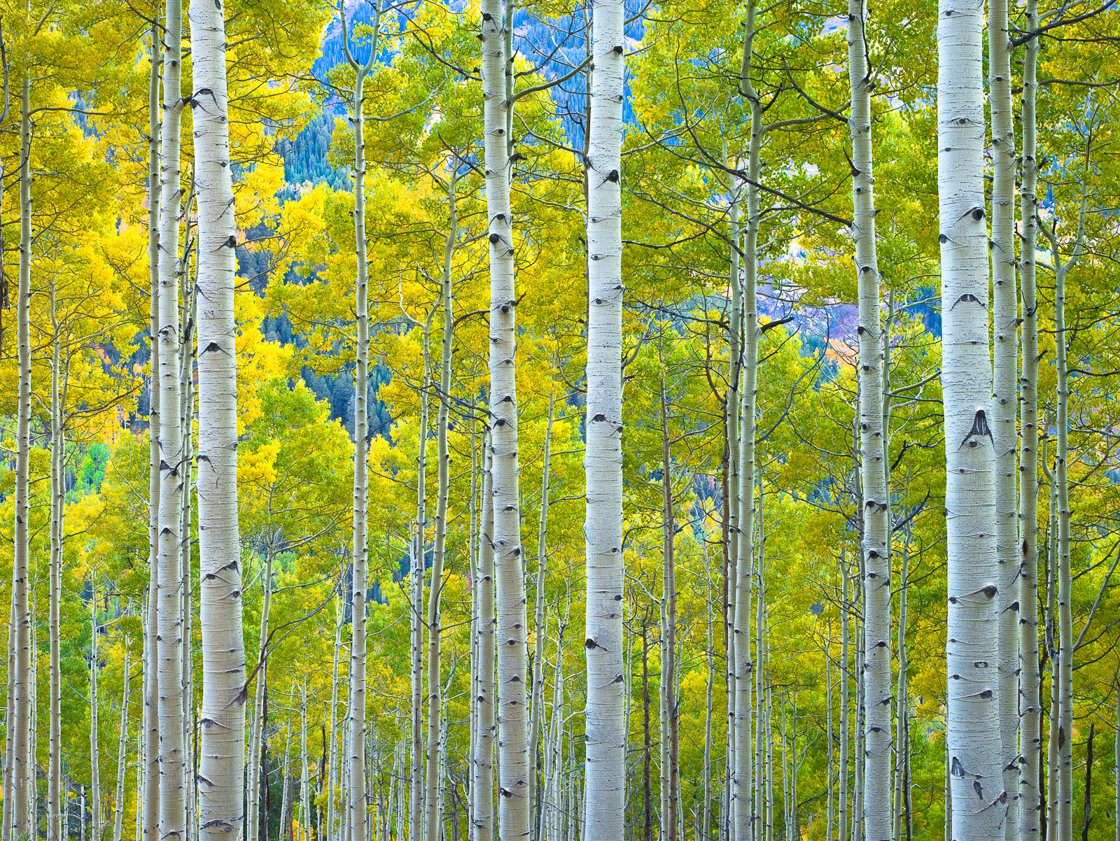 Aspen,Colorado,Fall,Forest,Green,Seasonal,Trees,Yellow,autumn, photo