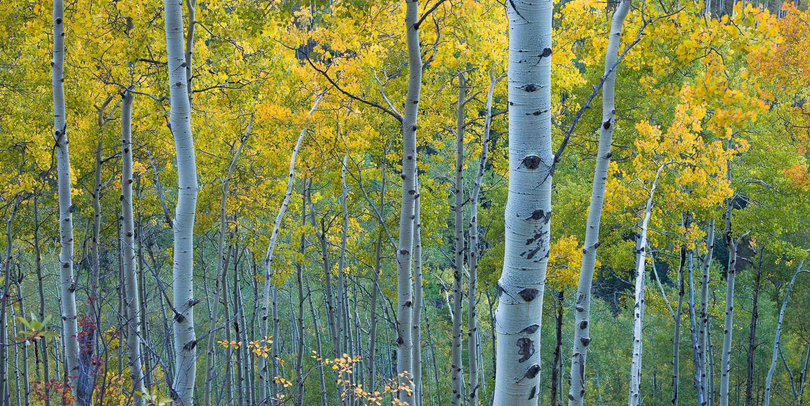 Among the valleys of Aspen the trees seem to bend towards the light trying to capture each ray.