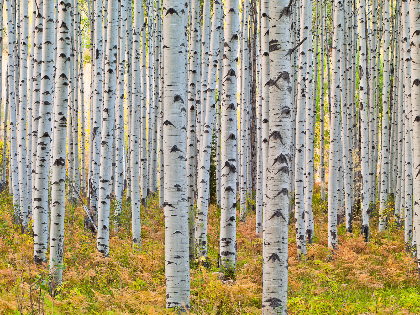 Among the Aspen,Autumn,Colorado,horizontal,Grove,Trees,Snow,Blanket,McClure Pass, photo