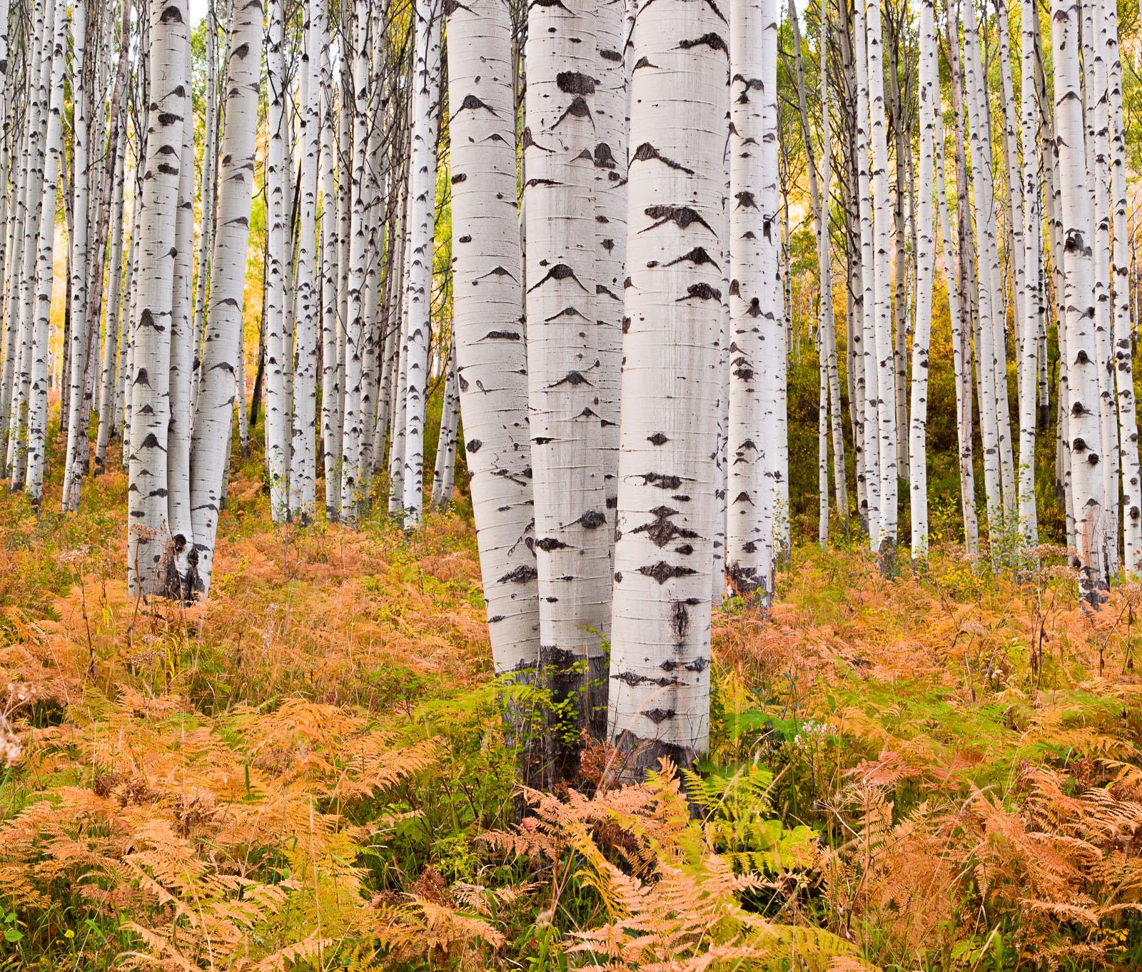 Paper Forest,Colorado,Horizontal,aspen,autumn,foliage,landscape,trees, photo