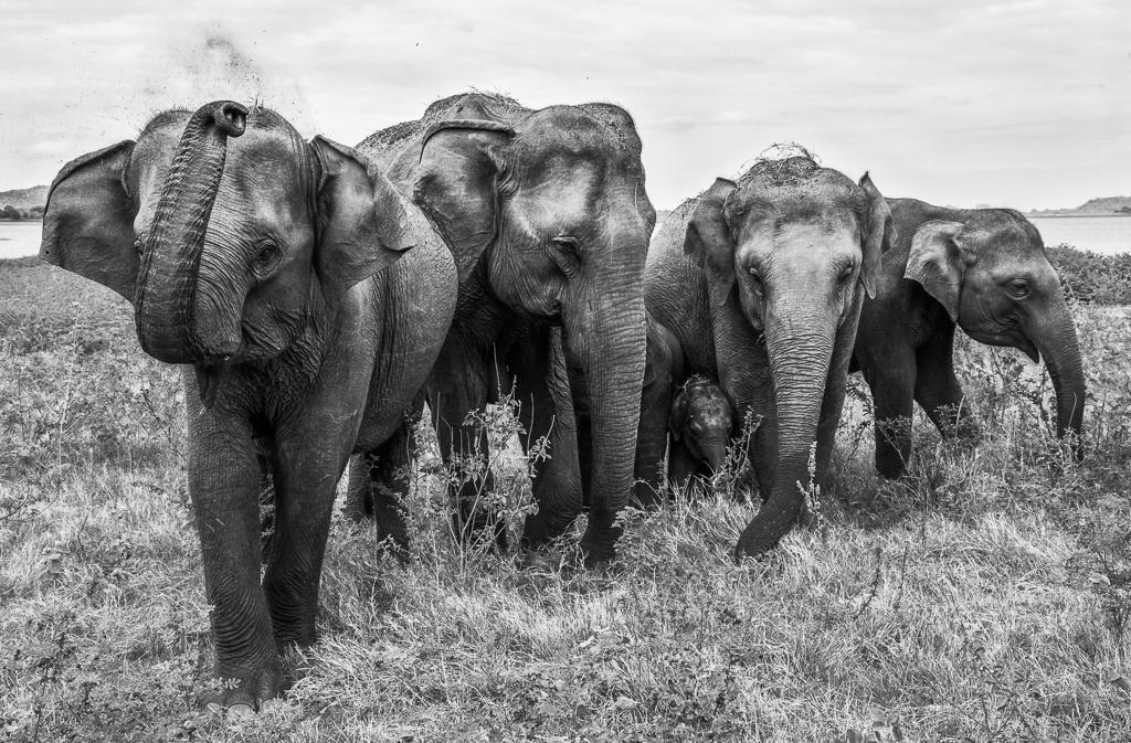 minneriya national park, Not on my watch, elephant, photo