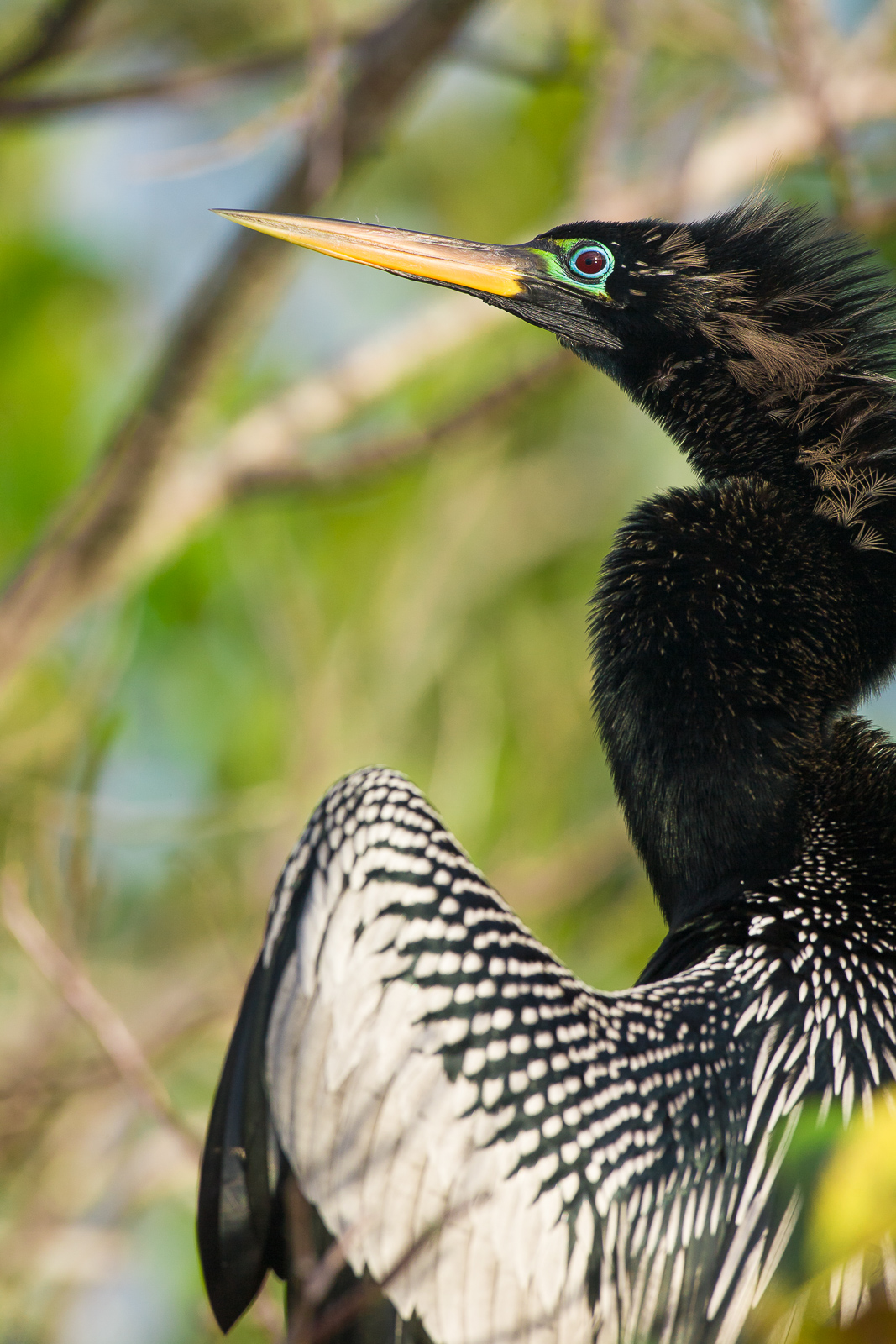 Fanning Out,Florida, Anhinga, Florida, Everglades National Park, photo