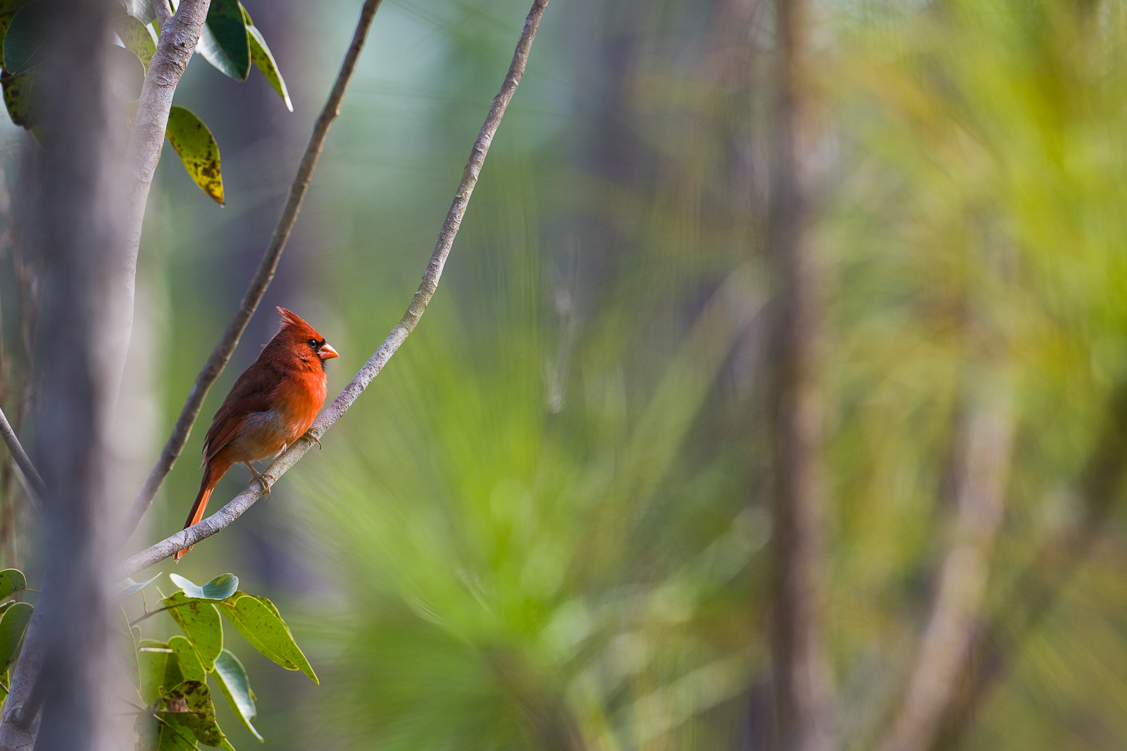 A sign of happiness, the ruby red male Cardinal enjoys winter in the warmer climate of the Florida Everglades.