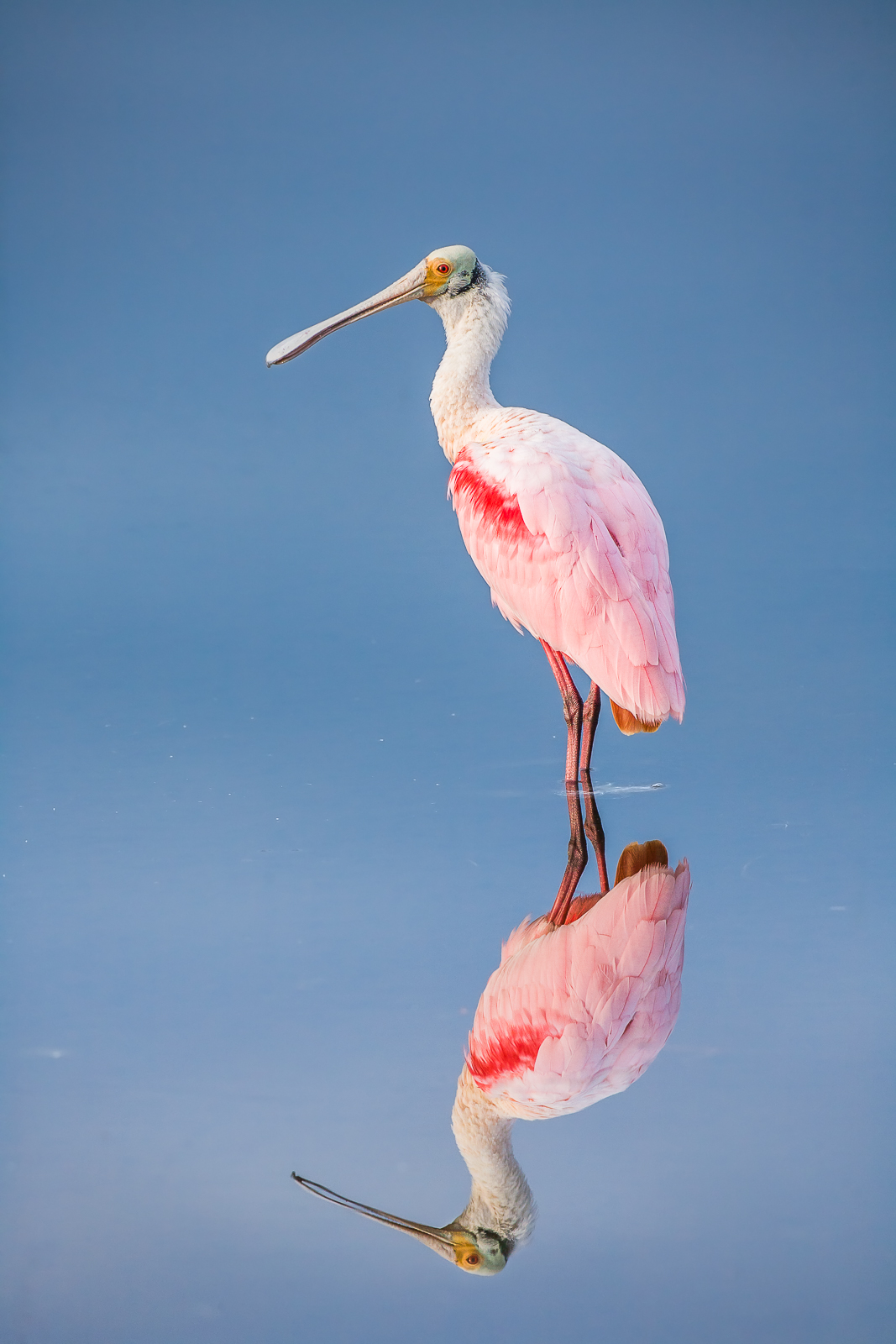 Seamless reflection of sky and water surrounds a Roseate Spoonbill within the Wildlife Refuge of Merrit Island.