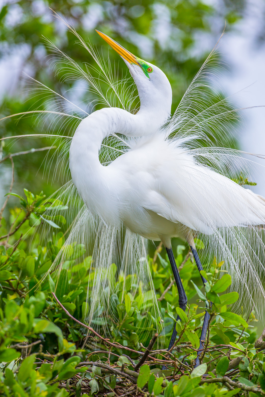 Ardea alba,Bird,Great white Egret, wildlife, bird, photo