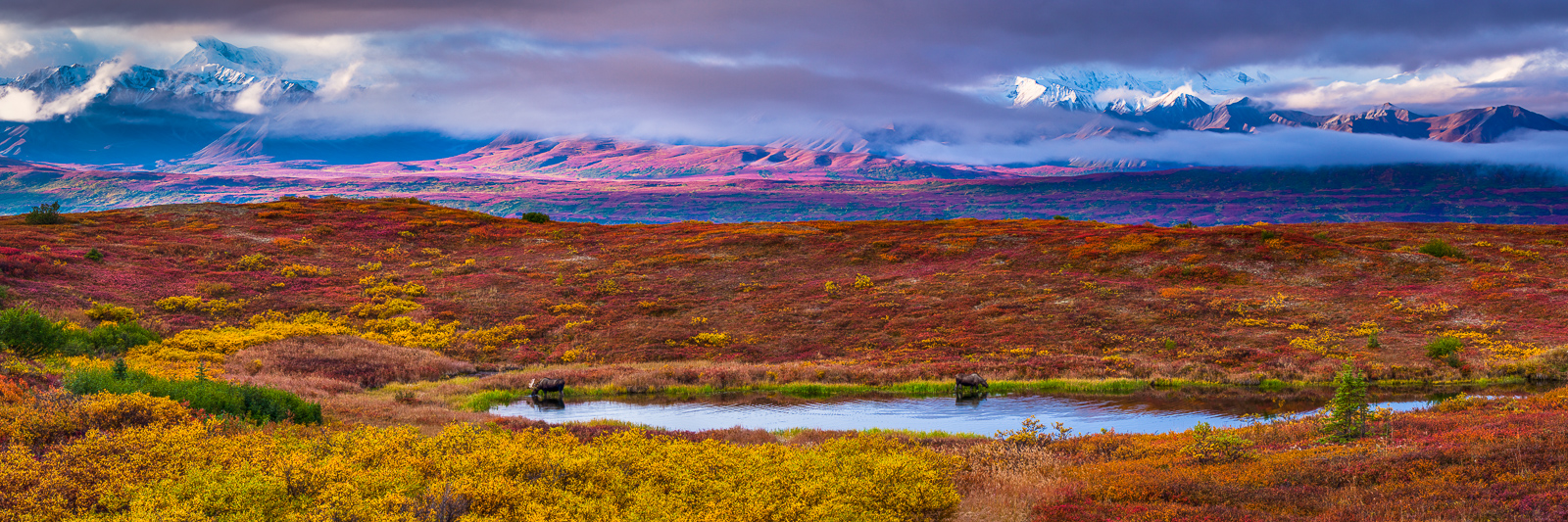 Autumn Peaks at Denali, Fall, Moose, Wildlife, Denali National Park, Alaska, Bull, Cow, Pond, Tundra, Foliage, photo