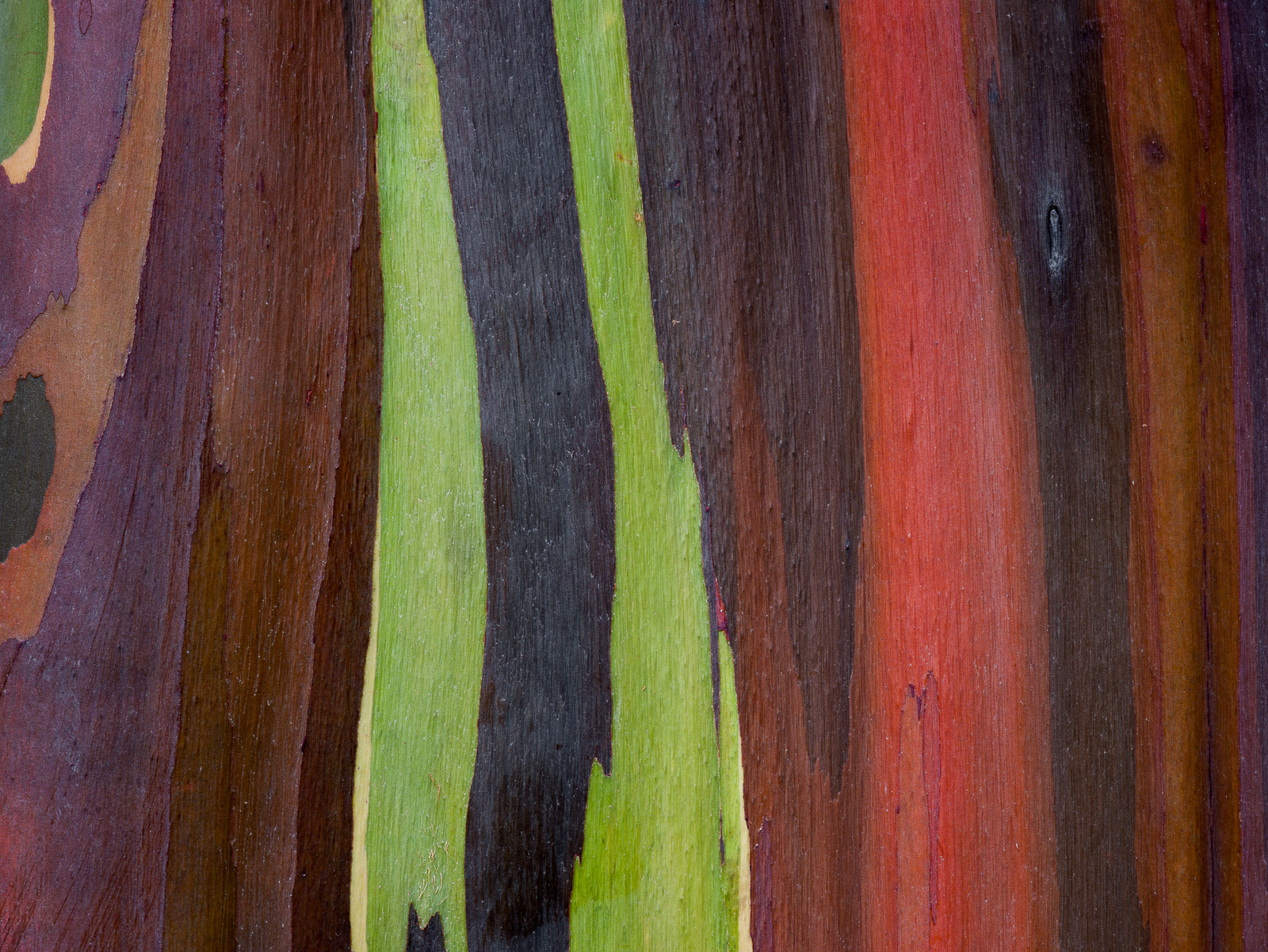 The Rainbow,Kauai,Rainbow Eucalyptus tree,Colors, photo