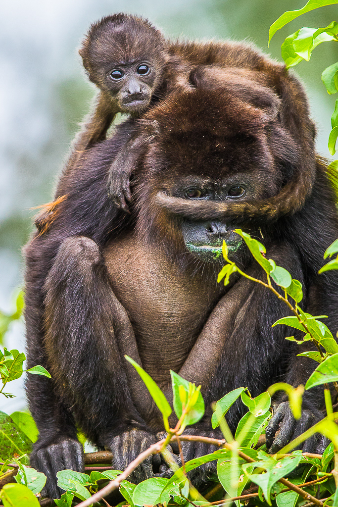 Honduras, howler monkey, wildlife, photo