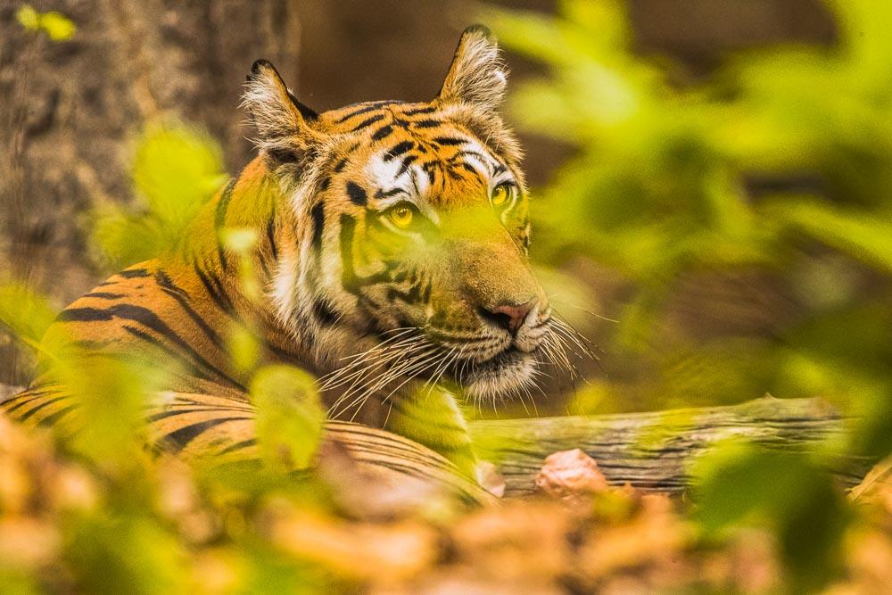 Resting Stripes, Bandhavgarh National Park, India, tiger, , photo