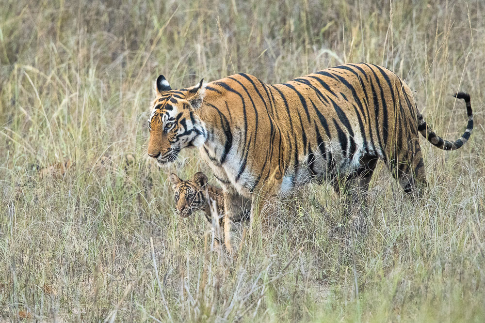 Mothers Stroll, mother, cub, Bandhavgarh National Park, India, photo