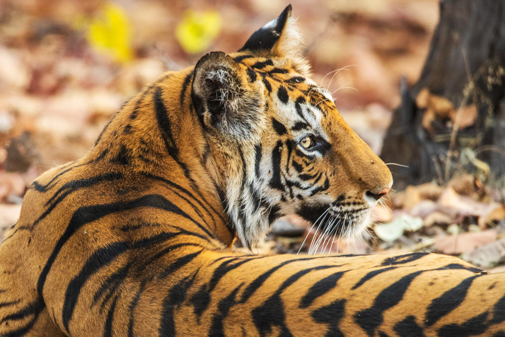 Each black stripe brings you closer to the jungle King. No other predator gets more response then the Bengal Tiger in its...