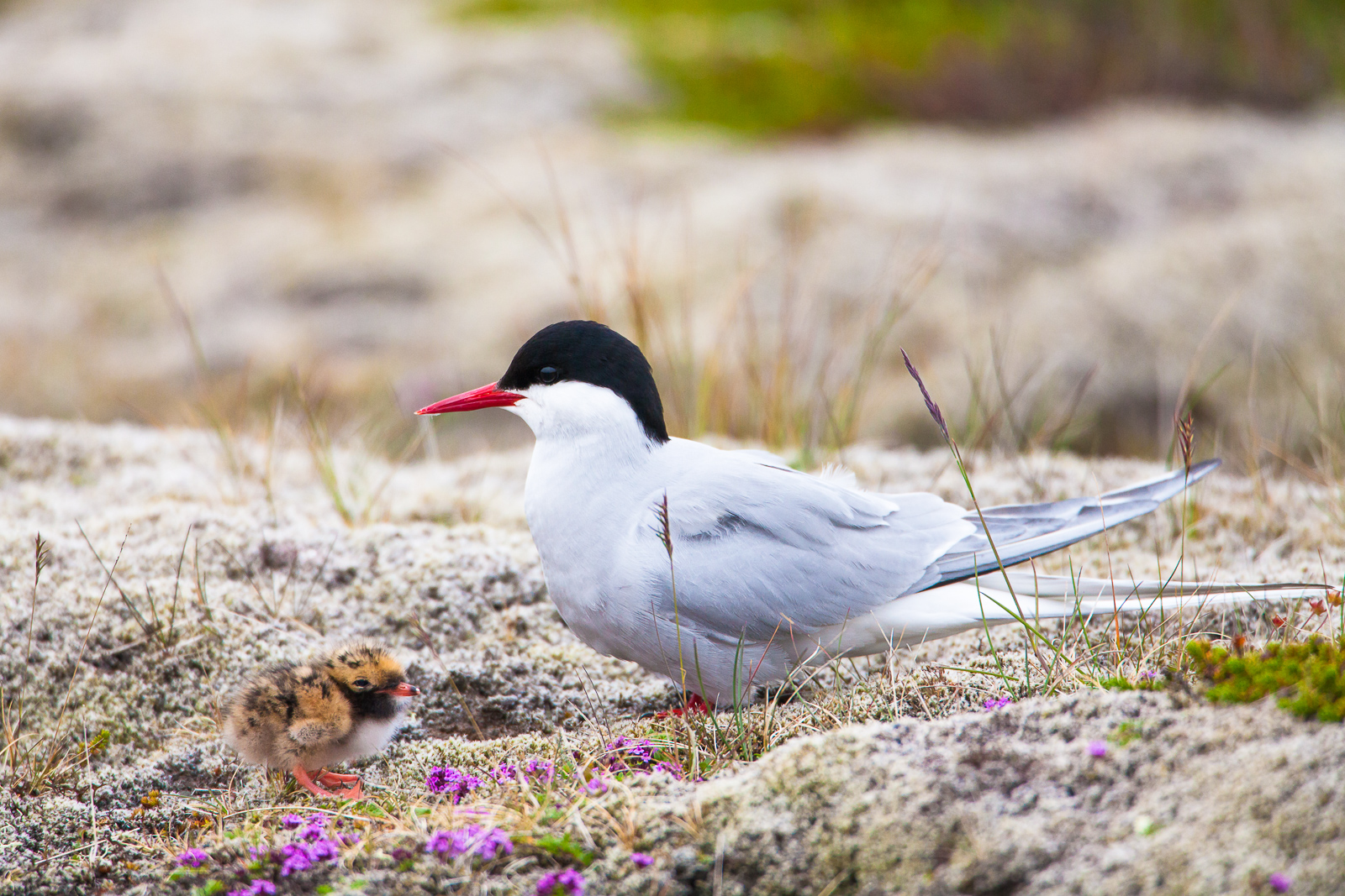 Hatchling on the Heath,Artic Tern,Horizontal,Iceland,Mother,Sterna paradisaea,Summer,bird,chick,wildlife, photo