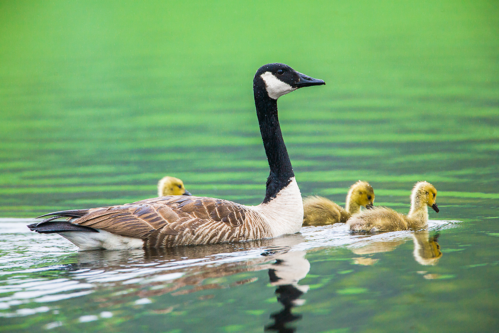 Three of a Kind,Goose, Massachusetts, mother, three, green, photo
