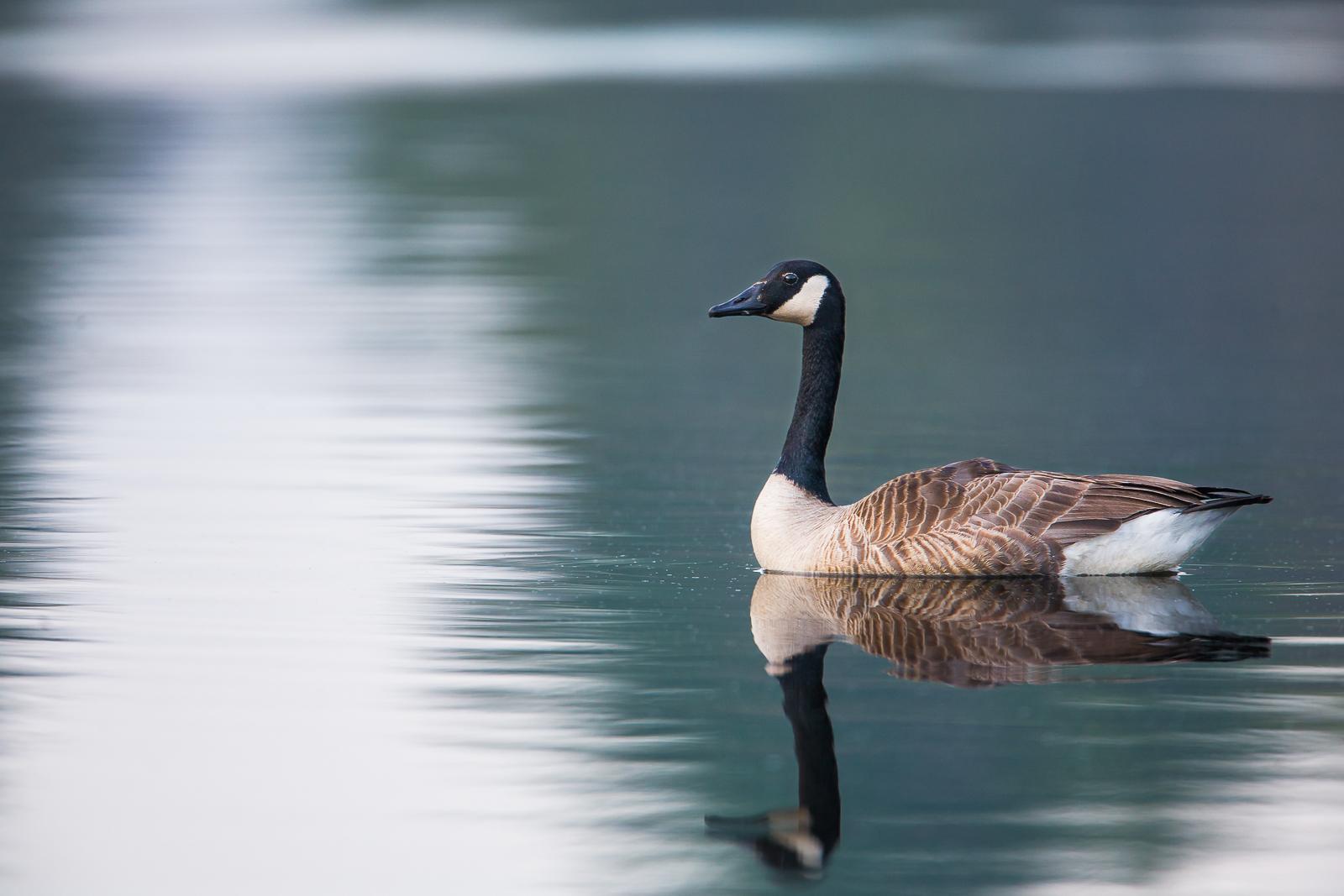 Sailing Into Light,Massachusetts, Canada Goose, Bird,Light,Water, photo