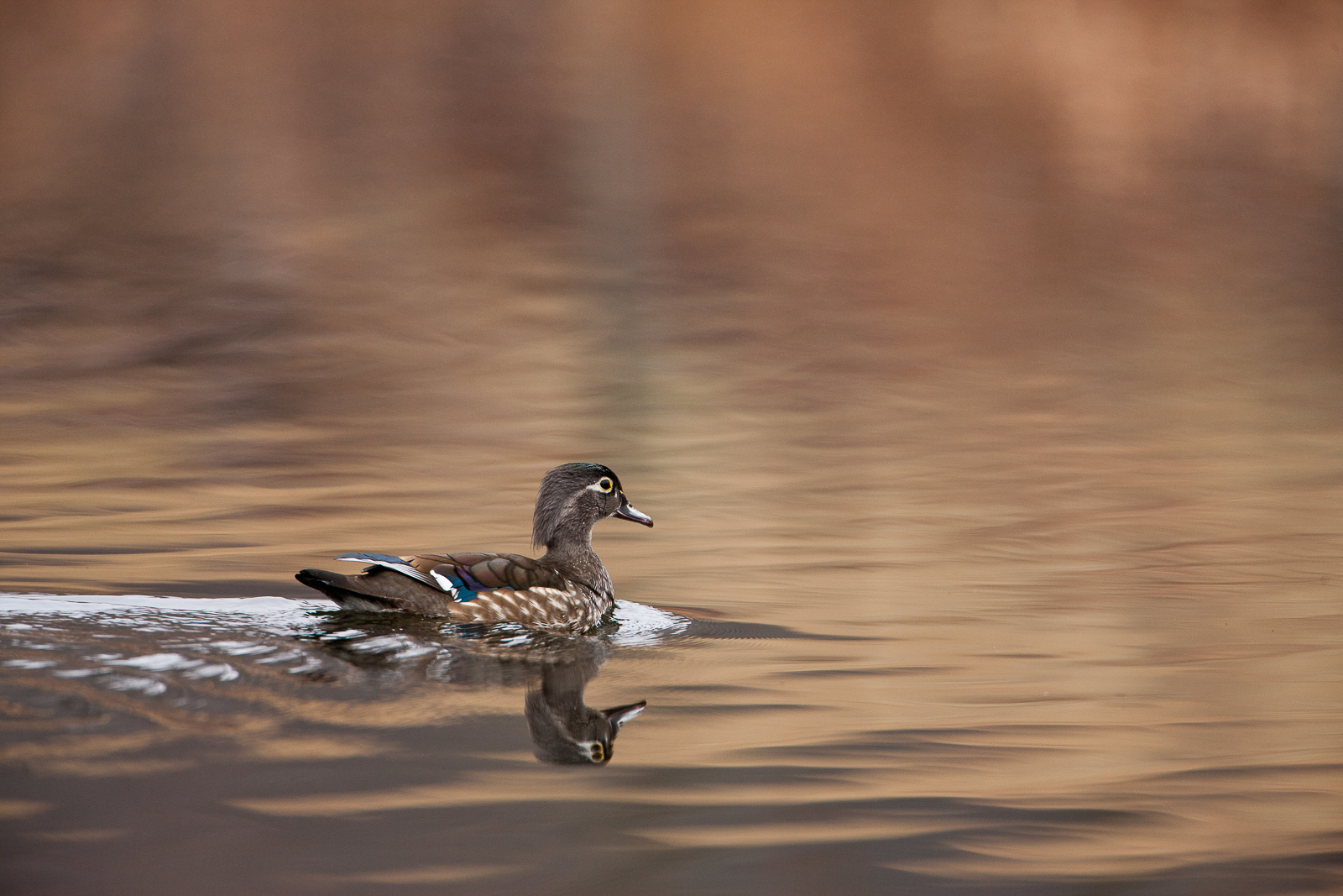 Female Wood Duck cruising the waters presumably escaping male suitors.