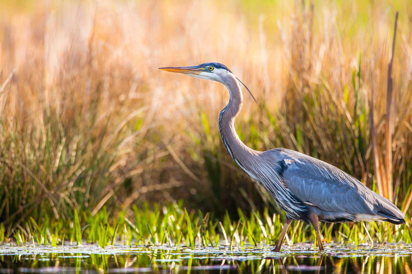 At the edge of a beaver pond the Great Blue Heron searches for tasty frogs and pollywogs.