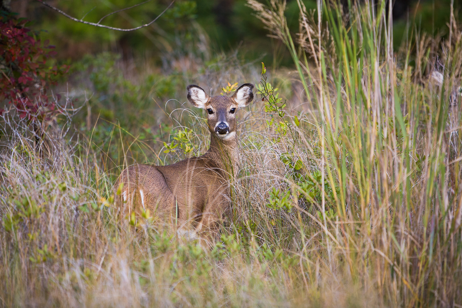 Grasslands,Maryland,Grasslands,Assateague Island, bushes,wild, sika, deer, , photo