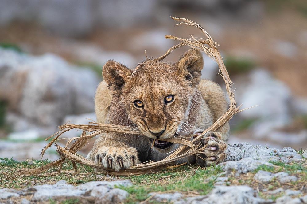 Etosha National Park, Namibia, My Toy!, lion, cub, photo