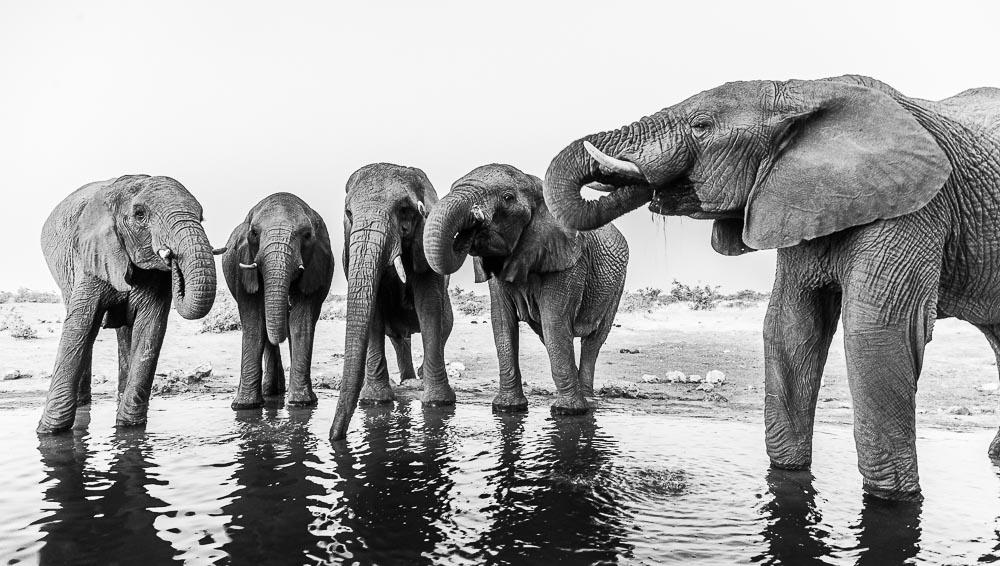 Etosha National Park, Namibia, The Ladies, elephant, herd, photo