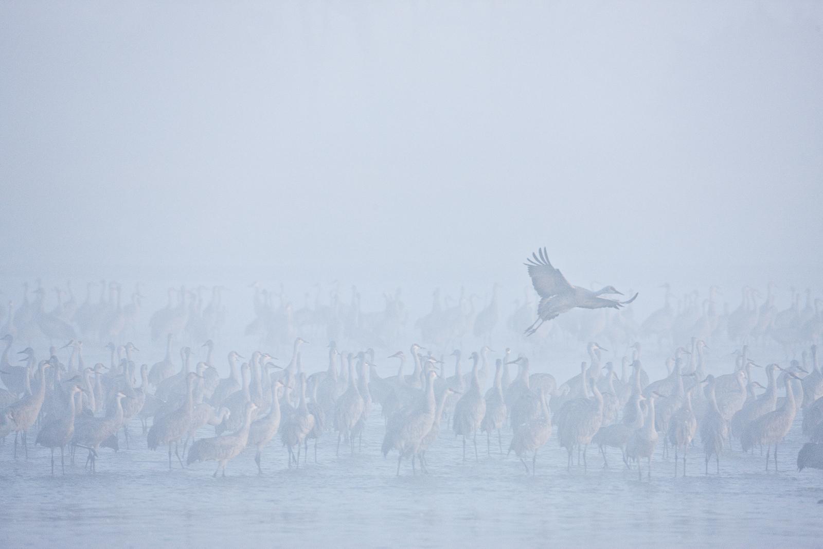 I Can Fly,Jamalee Blind,Nebraska,Sandhill Crane,Platte River, Sandhills,Fog, photo