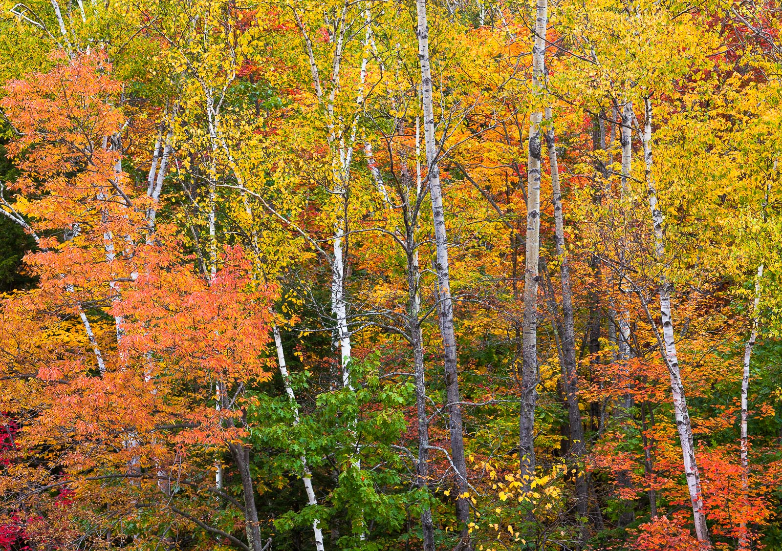 Autumn On Fire,White, Mountain, National Forest, New Hampshire,brown,pink, photo