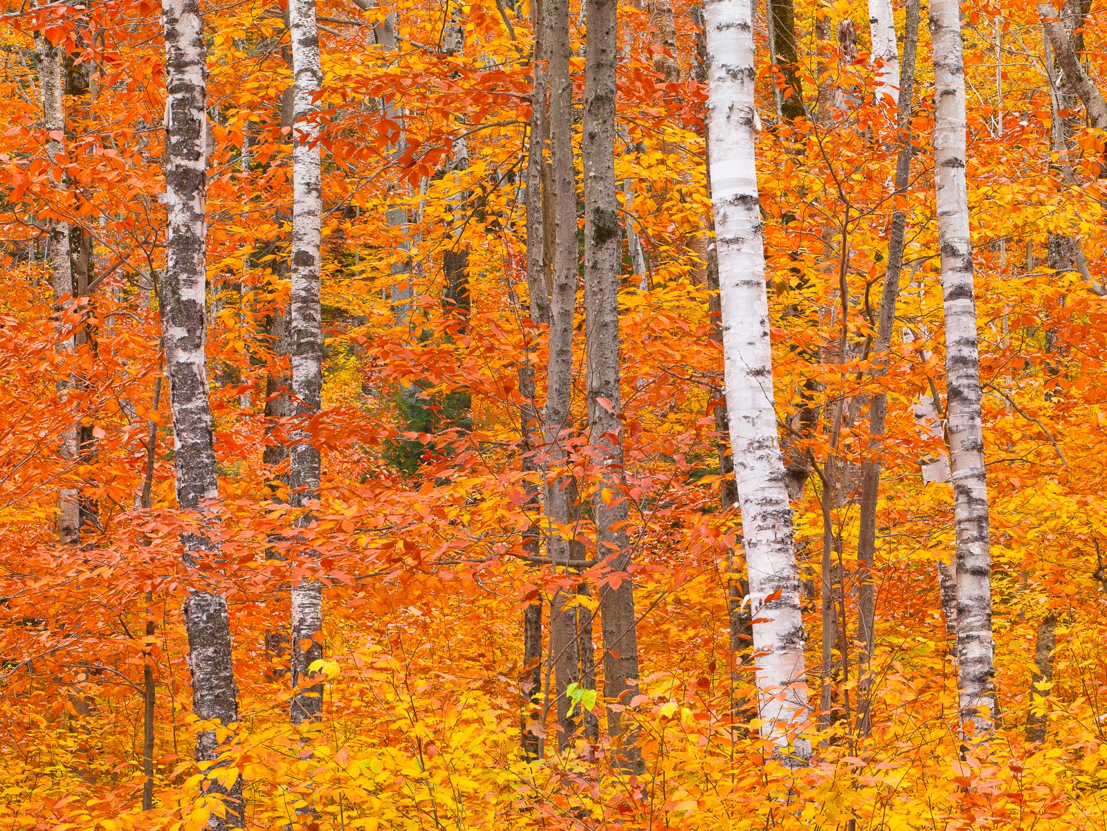 White on Fire,Autumn,Birch Tree,Crawford Notch,Forest,New England,Red,Trees,White Mountains,horizontal,orange, photo