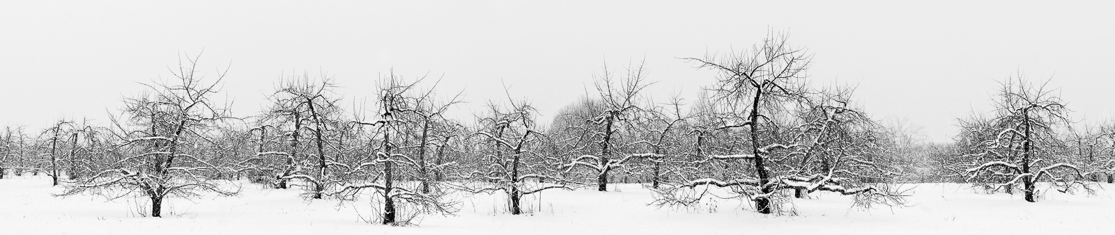 Reaching Out,Hampshire,winter,Chill.Old,Apple,Orchard, photo