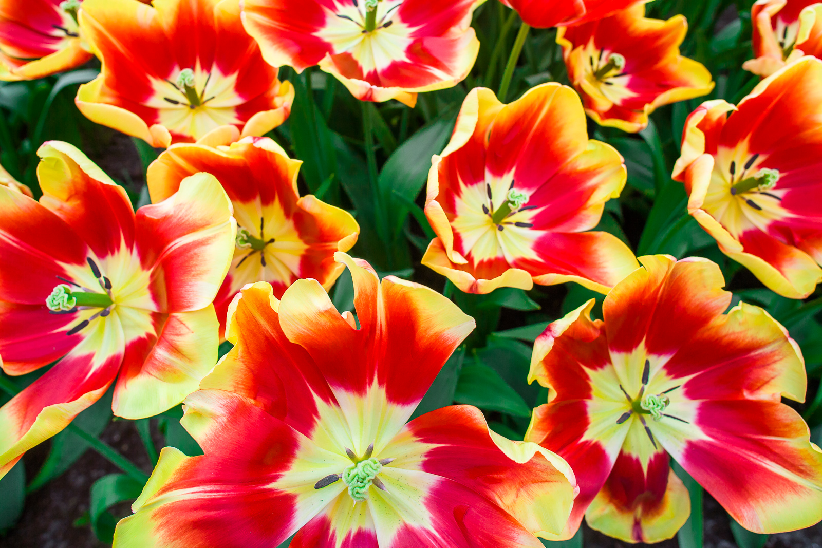 Color Blast,color,blast,Netherlands,Tulips, photo
