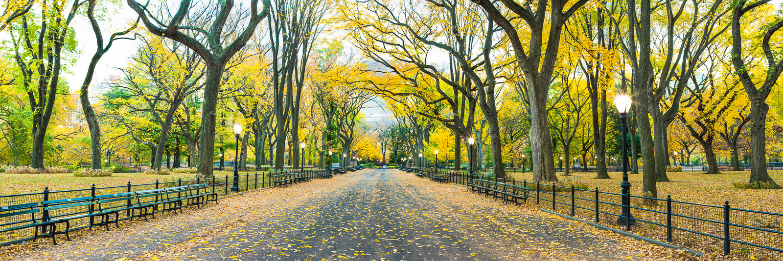 Walking on Gold,Central Park,Cityscape,Elm,Fall,Horizontal,New York City,Trees,Yellow,autumn,panoramic, photo