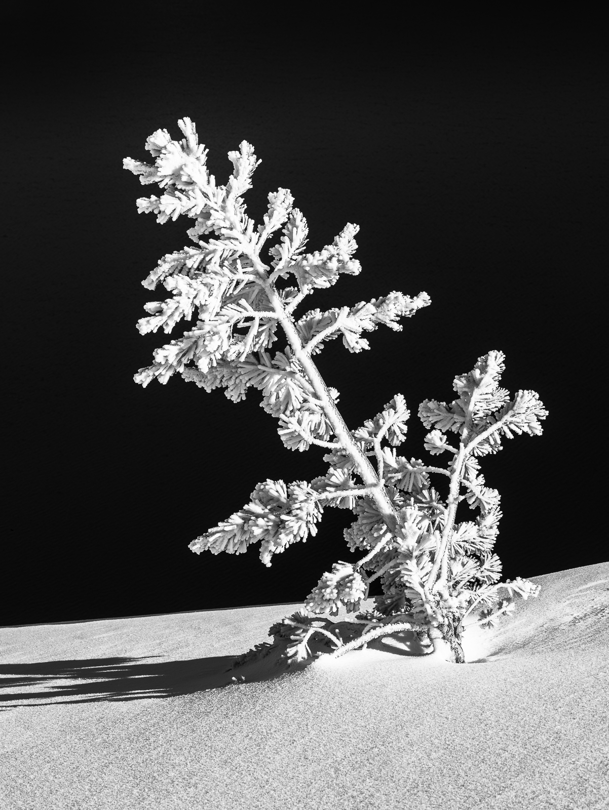 Crater Lake National Park, Oregon, Frozen Progress, winter, tree, frozen, vertical