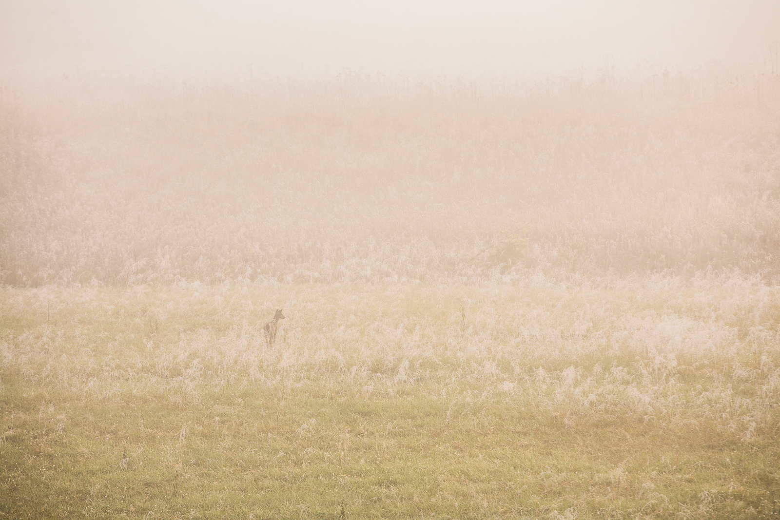 Morning Mist,Morning,Mist,smoke,mountain,park,deer,grass,Light, photo