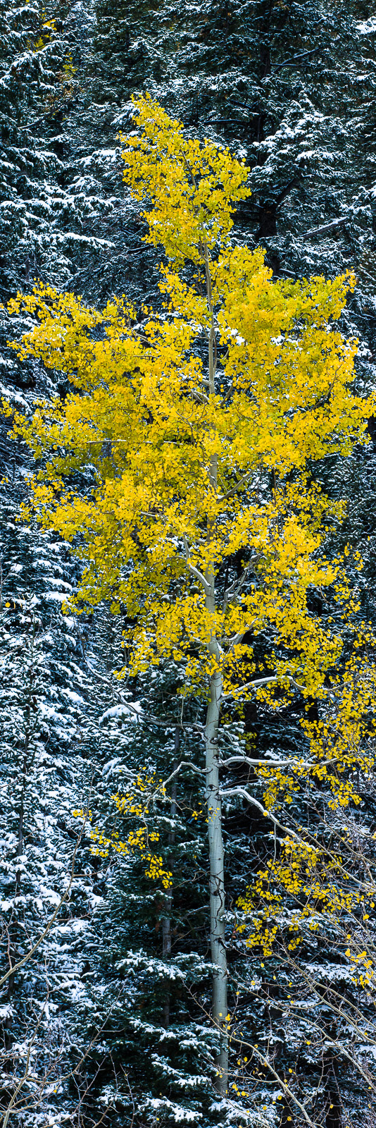 Being Unique,Aspen,Fall,Trees,Yellow,autumn,panoramic,snow,vertical, photo